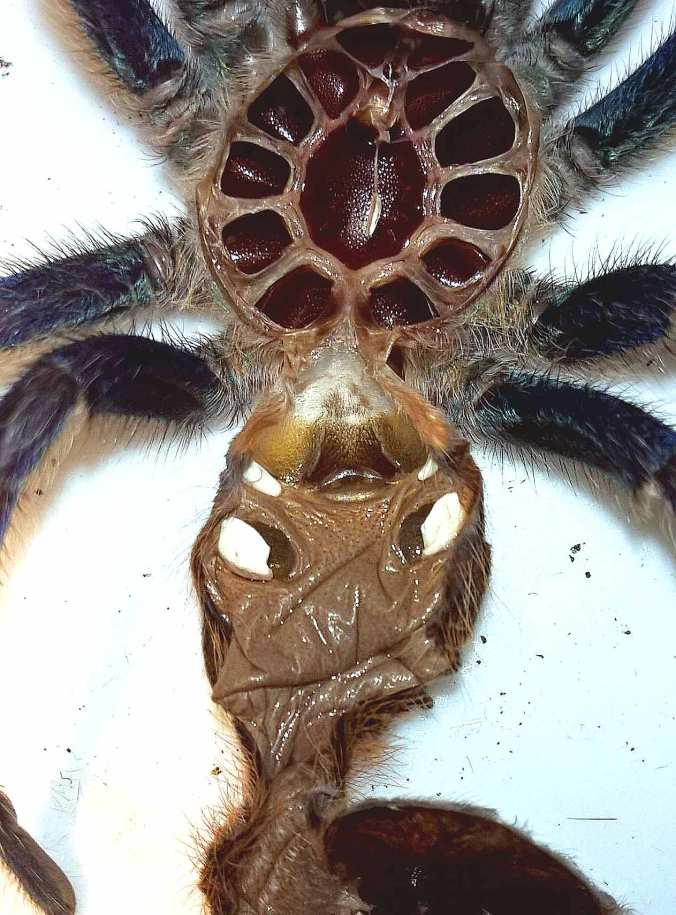 Female C. cyaneopubescens molt (GBB)
