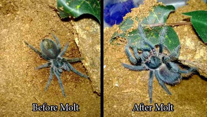 Phormictopus-before-after-m