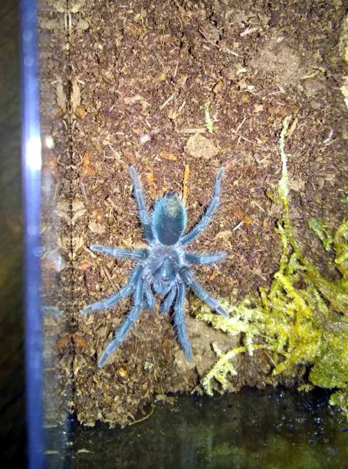 Phormictopus sp. purple sling