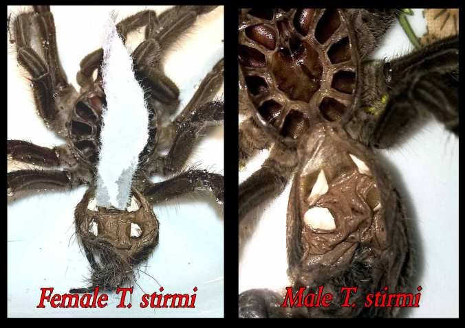 "A comparison of molts from a 3.5"" male and a 3.5"" female T. stirmi. The piece of paper on the female molt is showing the ""flap""."