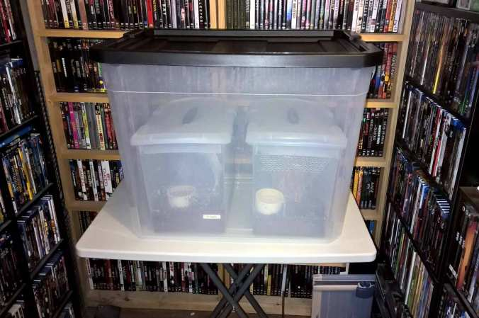 "A ""breeding chamber"" for my P. regalis pair. Both pokie enclosures were place inside this larger enclosure and their lids removed."