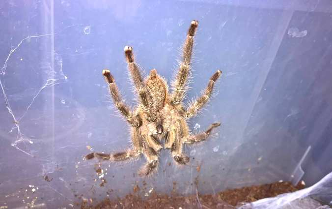 "6.5"" male P. regalis"