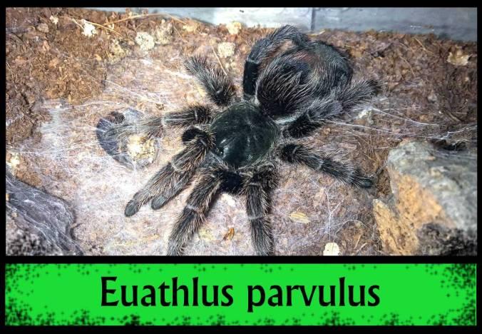 EUATHLUS-PARVULUS