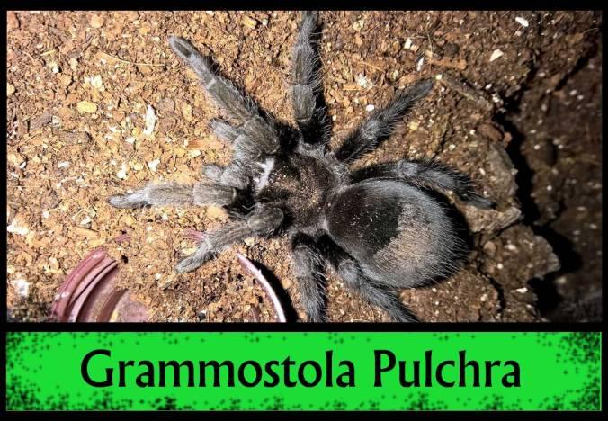 G-PULCHRA