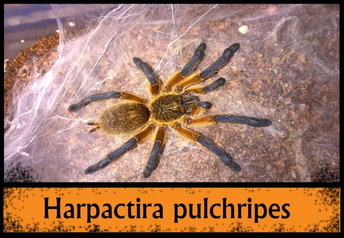 H.-PULCHRIPES