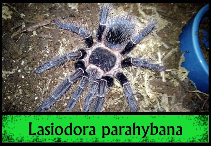 L-PARAHYB