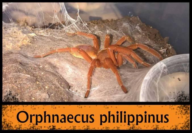 O-PHILIPPINUS