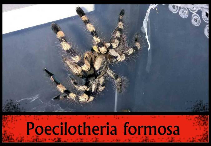 P-FORMOSA