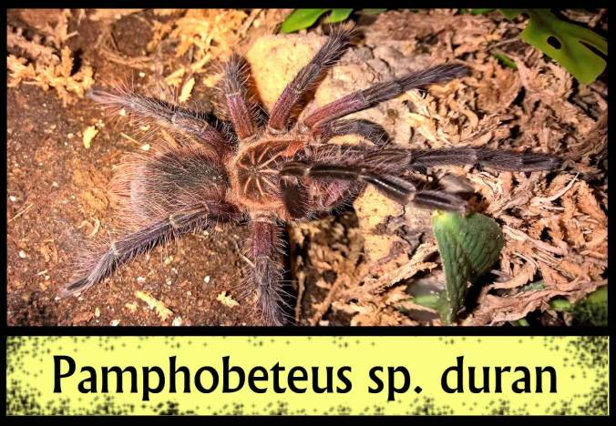 PAMPHO-DURAN