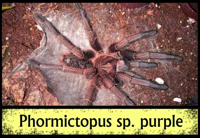 PHORMICTOPUS-SP-PURPLE