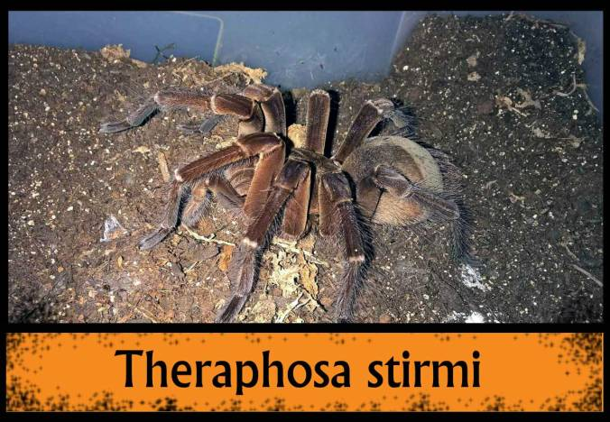 THERAPHOSA-STIRMI