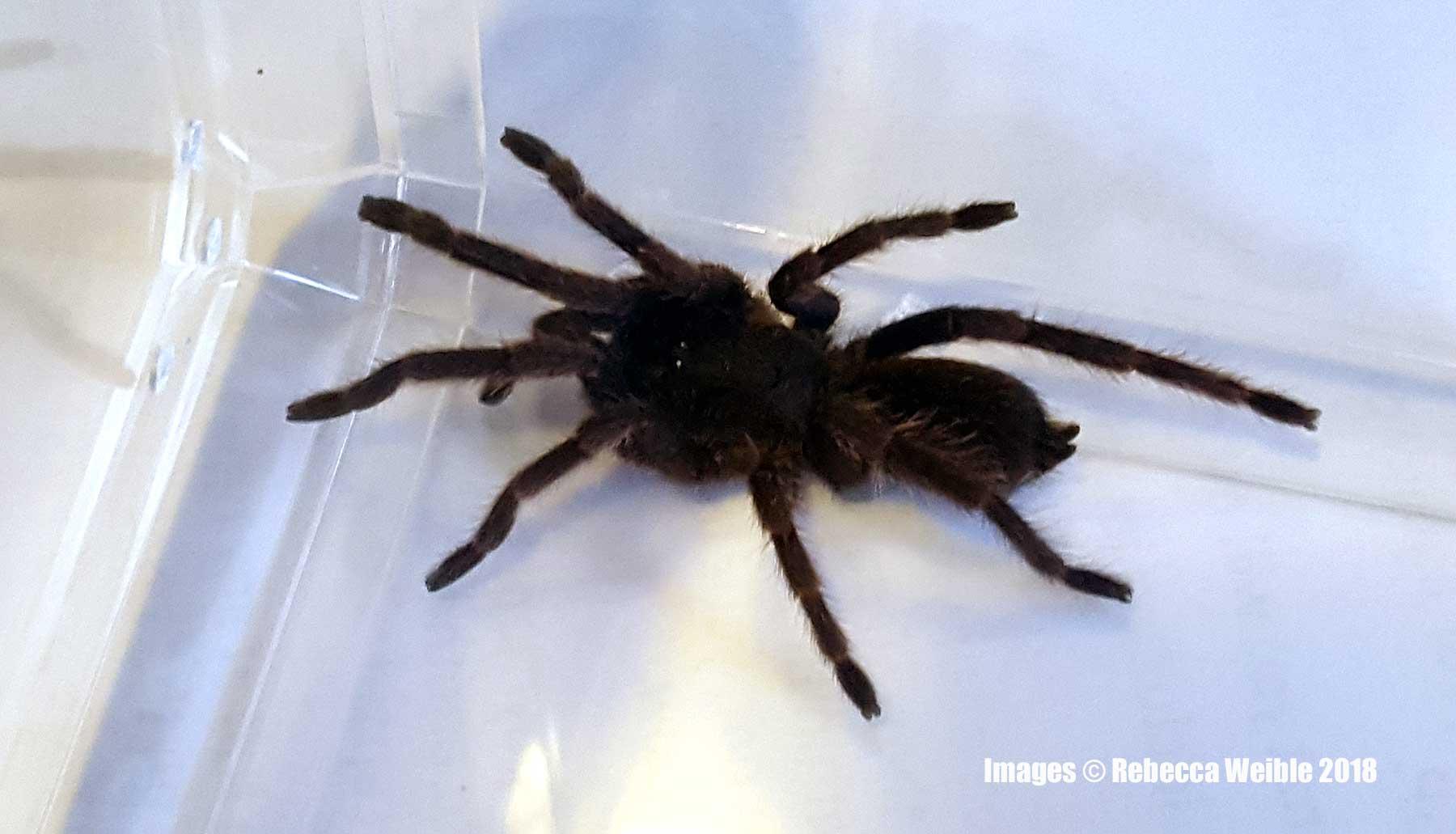 husbandry | Tom\u0027s Big Spiders