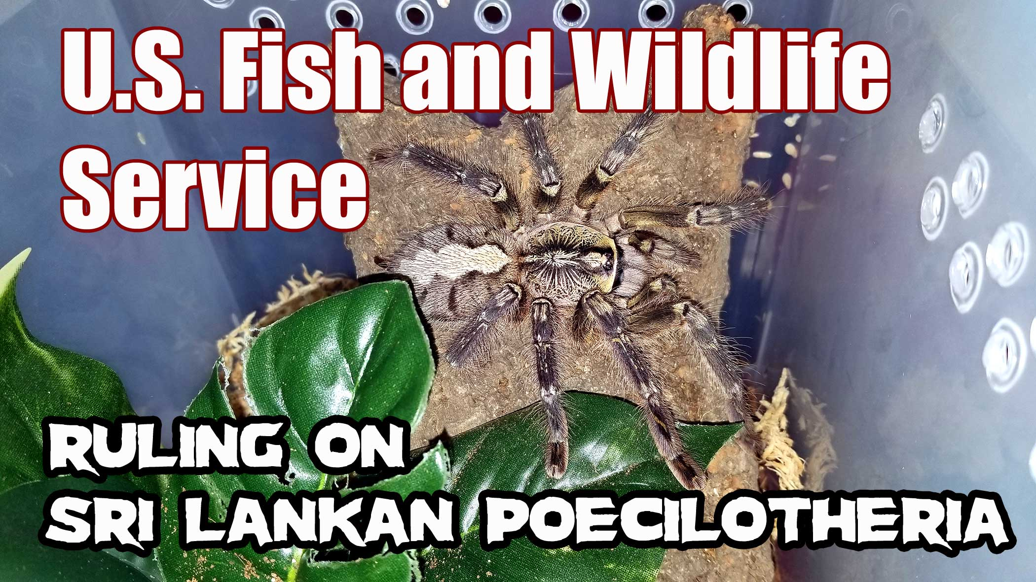 Tarantula laws | Tom's Big Spiders